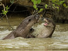 Otters playing (Lutra lutra) by Steven Whitehead
