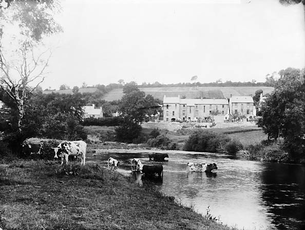 Cattle by the river, Llandysul (Cer)