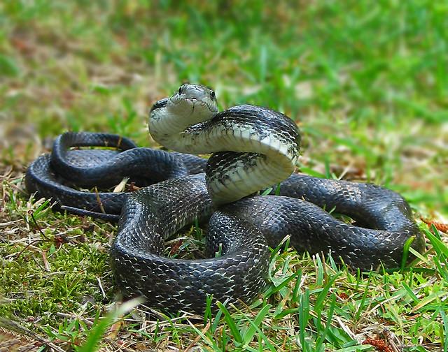 Black Rat Snake - Elaphe obsoleta   www.uga.edu/srelherp ...