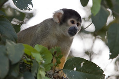 kinkajou(0.0), macaque(0.0), animal(1.0), monkey(1.0), mammal(1.0), squirrel monkey(1.0), fauna(1.0), new world monkey(1.0), wildlife(1.0),