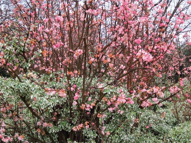 viburnum bodnantense 39 dawn 39 flowers from november to march. Black Bedroom Furniture Sets. Home Design Ideas