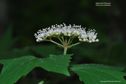 Maple Leaved Viburnum - Viburnum acerifolium