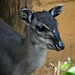 Blue Duiker Close-up