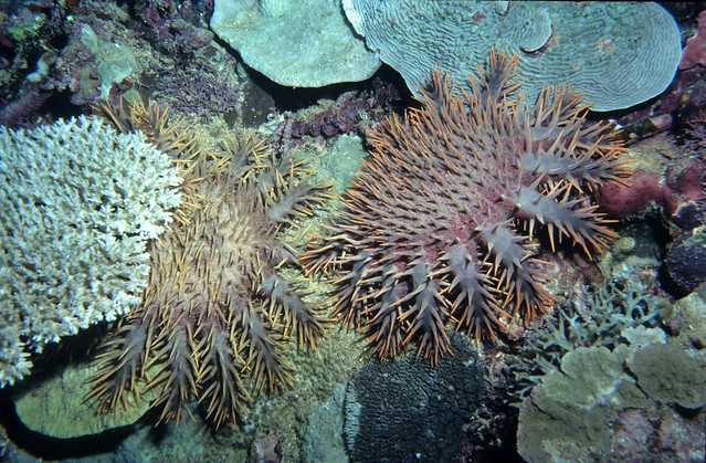 Crown of thorns starfish eating coral, Fiji | Flickr ...