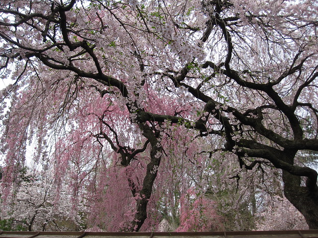 White and pink varieties of Prunus subhirtella 'Pendula' in the Japanese Hill-and-Pond Garden. Photo by Rebecca Bullene.