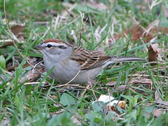 Chipping Sparrow - Photo (c) Vitaliy Khustochka, some rights reserved (CC BY-NC)