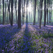 Micheldever Bluebell Sunrise
