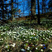 the wood of anemones