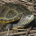 Northern Diamondback Terrapin - Photo (c) Todd Pierson, some rights reserved (CC BY-NC-SA)