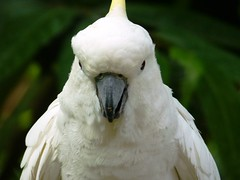 White Cockatoo-are you looking at?