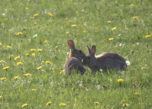 two wild rabbits
