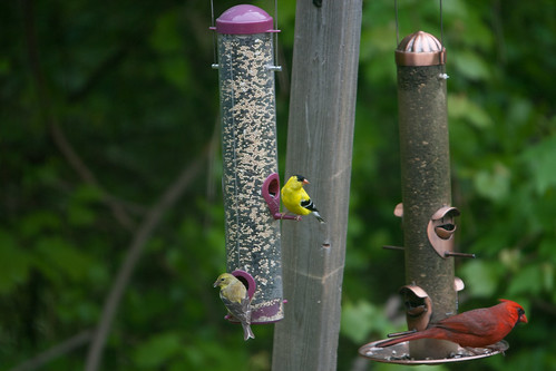 Goldfinches Join the Regulars at the Feeder