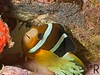 Clarki Anemonefish with eggs