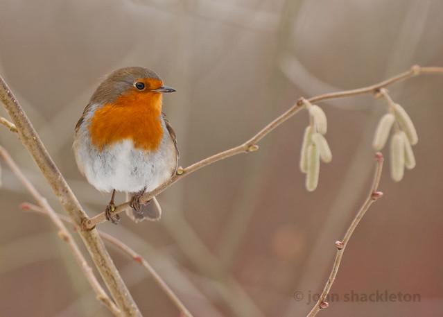Petirrojo / Robin (Erithacus rubecula)