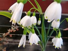 erythronium(0.0), flower(1.0), plant(1.0), galanthus nivalis(1.0), flora(1.0),