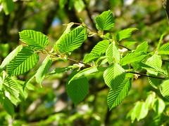 D3: Carpinus betulus
