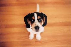 hound(0.0), puppy(0.0), english foxhound(0.0), basset artã©sien normand(0.0), estonian hound(0.0), dog breed(1.0), animal(1.0), harrier(1.0), dog(1.0), treeing walker coonhound(1.0), american foxhound(1.0), pet(1.0), pocket beagle(1.0), mammal(1.0), finnish hound(1.0), drever(1.0), beagle(1.0),