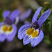 Bach's calicoflower - Photo (c) randomtruth, some rights reserved (CC BY-NC-SA)