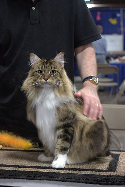 CFA Breed : Brown Tabby & White MAINE COON