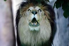 Lion - Creepy Roar