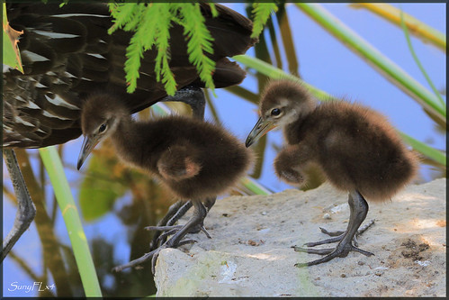 florida wildlife chicks lakeland limpkin fantasticnature mothernaturesgreenearth onlythebestofnature