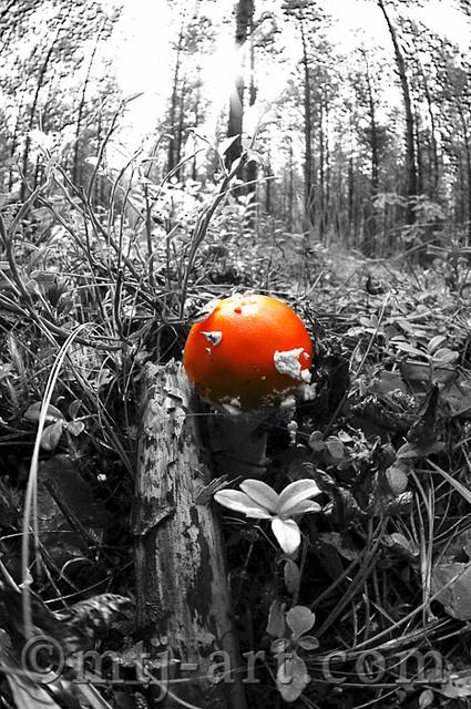 Punakärpässieni | Amanita muscaria