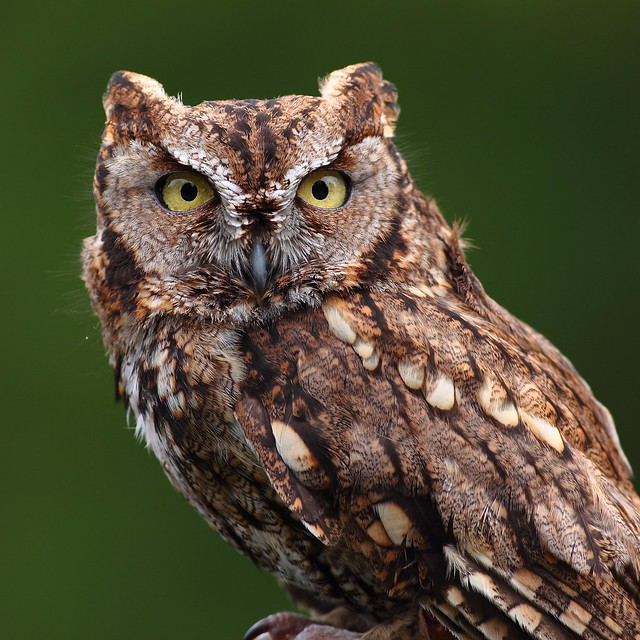 Western Screech Owl | Flickr - Photo Sharing!