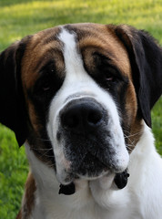 olde english bulldogge(0.0), american bulldog(0.0), boxer(0.0), dog breed(1.0), animal(1.0), dog(1.0), old english bulldog(1.0), pet(1.0), greater swiss mountain dog(1.0), st. bernard(1.0), carnivoran(1.0),