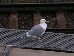 Seagull on train