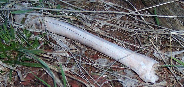 Deer Femur Bone http://www.flickr.com/photos/cryptoraven/5621971840/