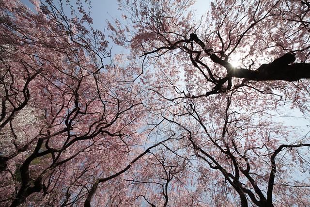 Sakura sunlight