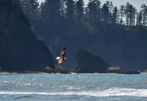 bald eagle rialto beach 0465