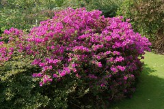 annual plant, shrub, flower, garden, plant, breckland thyme, lilac, flora, azalea,