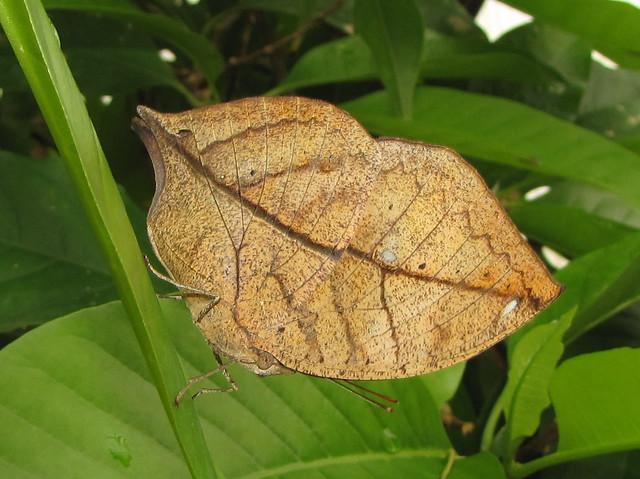 Indian Leaf Butterfly (Kallima Paralekta)
