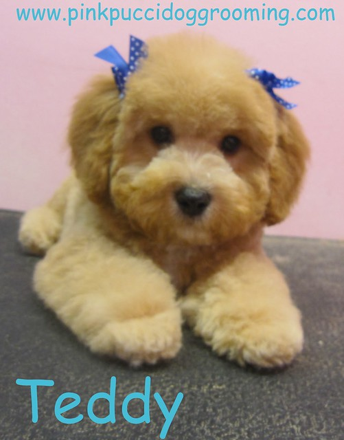 Toy Poodle Grooming Styles | Flickr - Photo Sharing!