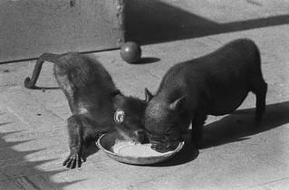 Hangbuikzwijntje en aapje in Artis / Potbelly pig and ape in Duth zoo