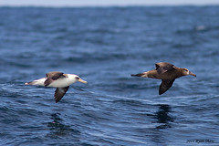 Laysan and Black-footed Albatross