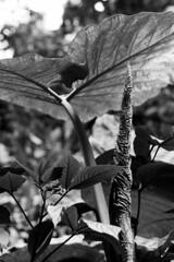 Riesige Blätter, eines noch zusammengerollt