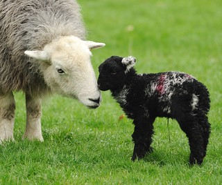 Motherly Love -     Taken at Grasmere Cumbria April 2011