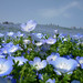 NemoPhila----Hitachi Sea SidePark by Kenta_2912