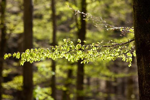 tree green forest skåne spring branch sweden skåne f40 2011 ef200mmf28lusm canoneos5dmarkii ¹⁄₃₂₀sek västerstad