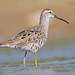 Stilt Sandpiper - Photo (c) Dan Pancamo, some rights reserved (CC BY-SA)