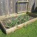 Garlic, sunflowers, peas, carrots, lettuce, chard