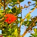 Ohia Lehua tree with flower by LoveBigIsland