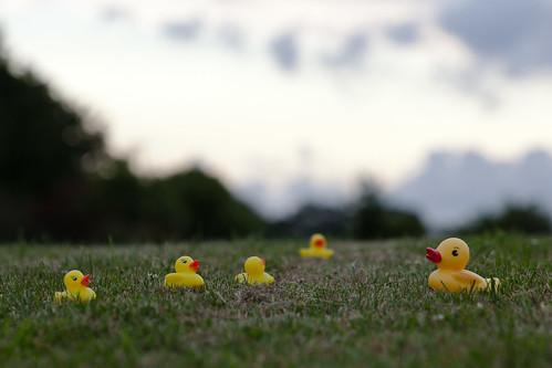 nature grass canon garden denmark duck dusk ducks canon5d danmark rubberducks 70200mm 鸭 llens yellowducks 70200mm28 5dmarkii 5dii pamhule jensschott jensschottknudsen 橡皮小鴨