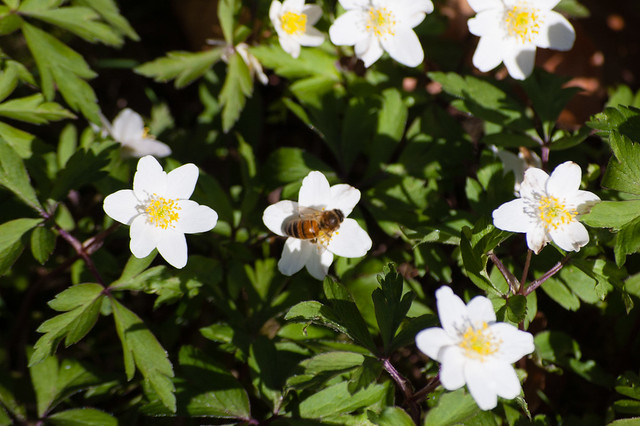 Wood anemone flowers with small honey bee