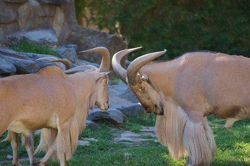 "Barbary sheep ~ ""head-butting"""