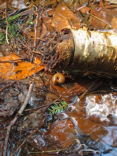 ny newyork nature rotting dead spring shell snail upstate bark fingerlakes preserve springtime rotted dryden tompkinscounty inklingsandimprints odvonengelnnaturepreserve malloryvillerd malloryvilleroad malloryvillepreserve