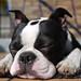 Bosten Terrier ganz nah! by Silbersurfer
