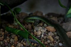 animal, serpent, snake, reptile, fauna, scaled reptile,